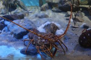 lobster-483279_1280