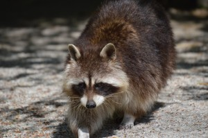 raccoon-732356_1280