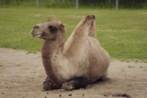 bactrian-camel-838588_1920
