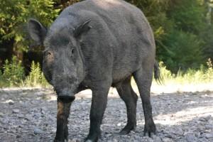 boar-854124_1920