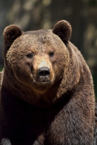 brown-bear-514379_1920