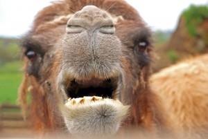 camel-751716_1920
