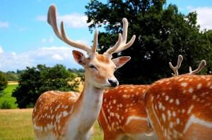 deer-798709_1280
