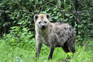 hyena-315125_1280