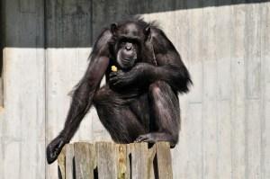 monkey-213460_1920