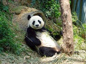 panda-505149_1920