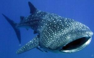 whale-shark02