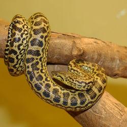 250px-Anaconda_jaune_34