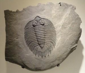 arctinurus-boltoni-883871_1920