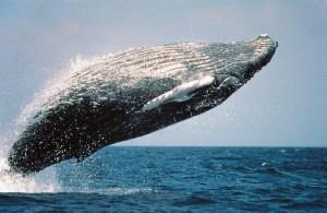 humpback-whale-591126_640