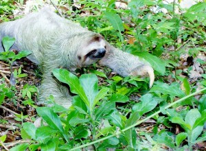 sloth-318882_640