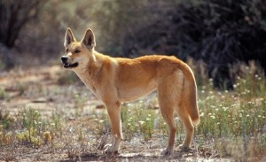 20130715-dingo