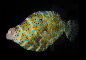 Scrawled_Filefish