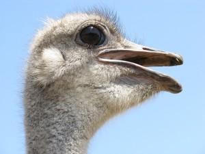 ostrich-202659_640