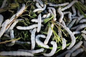 silkworm-931555_640