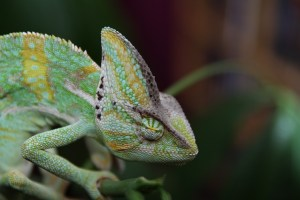 sleeping-chameleon-202417_640