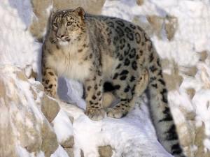 snow-leopard-620552_640