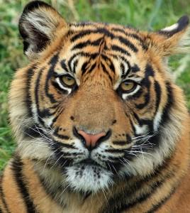 tiger-165189_640