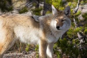coyote-948817_640