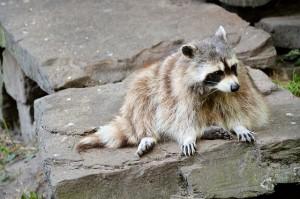 raccoon-314230_640