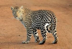 leopard-592187_640