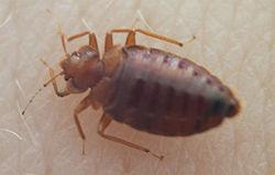 250px-Bedbug004