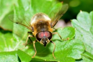 hoverfly-314195_640