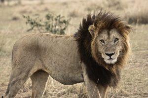 lion-171212_640