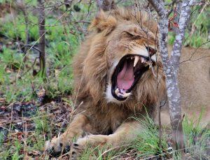 lion-241622_640