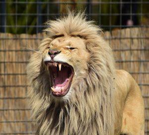 lion-721836_640