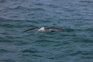 new-zealand-royal-albatross-1226501_640