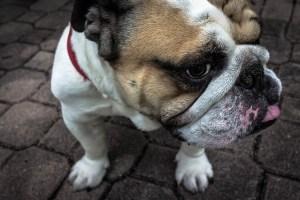 bulldog-871996_640