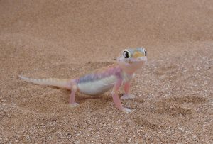 pachydactylus-rangei
