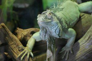iguana-802441_640