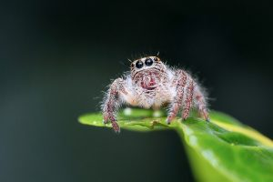 jumping-spider-1130449_640