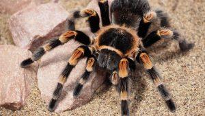 tarantula-1416355_640