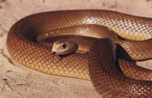 cobra-mais-venenosa-mundo-taipan