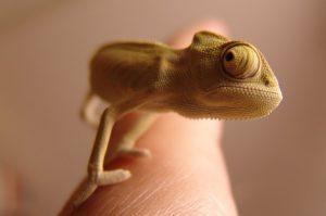 chameleon-276603_640