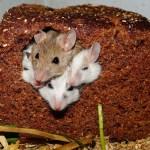 ネズミの種類一覧!【画像】ペットから大型種まで世界のげっ歯類を紹介
