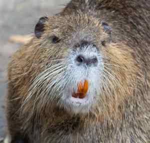 nutria-teeth-2