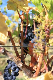 Harvest time at Rippon Vineyard