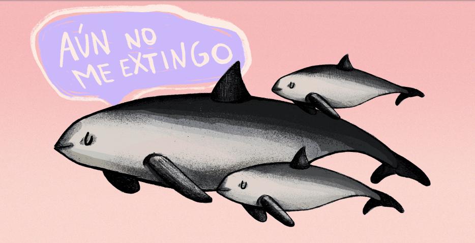 El avistamiento de vaquitas marinas, científicos realizaron tres avistamientos y comprobaron que la especie se continúa reproduciendo