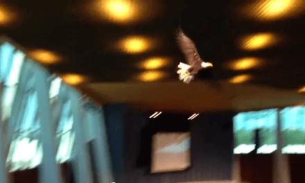 Yankilandia: Sueltan un águila calva en una iglesia y se empotra contra los cristales