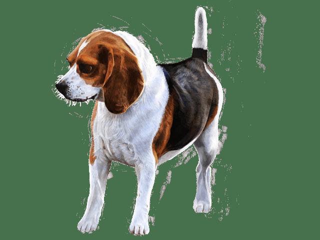 犬(ビーグル)