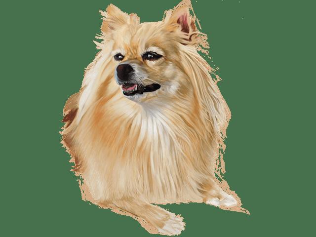犬(ポメラニアン)