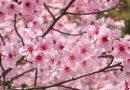 """Zapraszamy na """"Sakura Party – Wieczór Japoński"""" w naszej szkole!"""