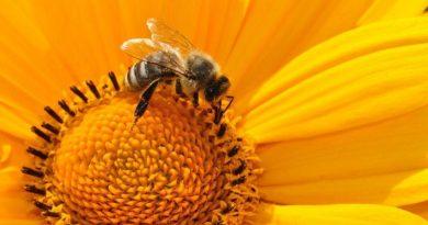 bee, pollen, nectar