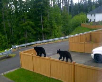 Bear cubs walking the tight rope of a fence top on Carmichael Ave in Snoqualmie
