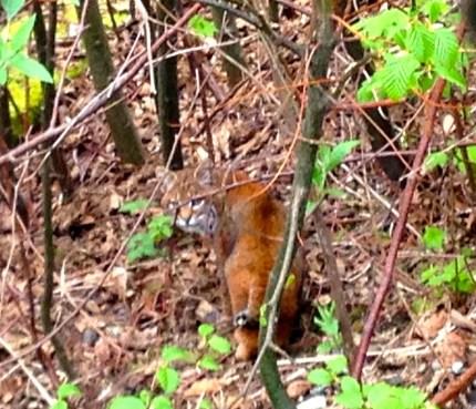 Bobcat in the woods lining Snoqualmie Ridge, Deer Park neighborhood, 4/8/14