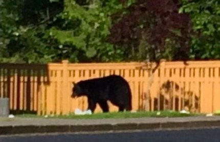 Bear spotted in Mt Si Cottages neighborhood near Hancock and Jacobia, in Snoqualmie, Monday, June 2, 2014.